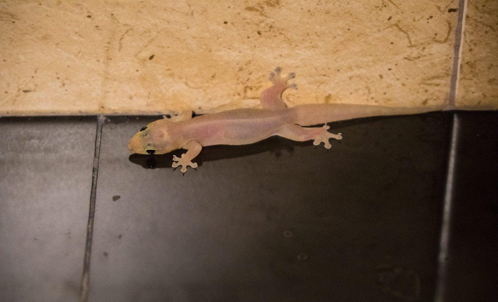 Gecko in Phuket, Thailand Hausgecko