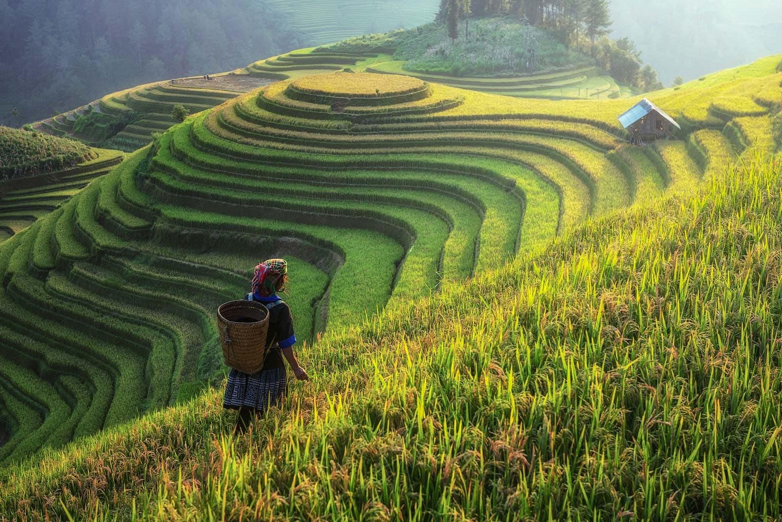 Asia Vietnam Rice Terrace Hmong