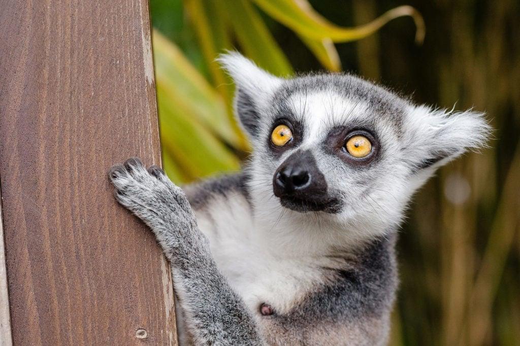 Lemur Madagaskar Ostafrika