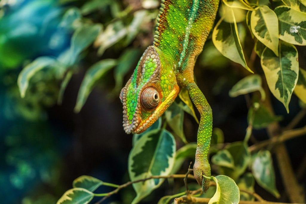 Párduckaméleon Furcifer Pardalis Reptil Madagaskar Ostafrika