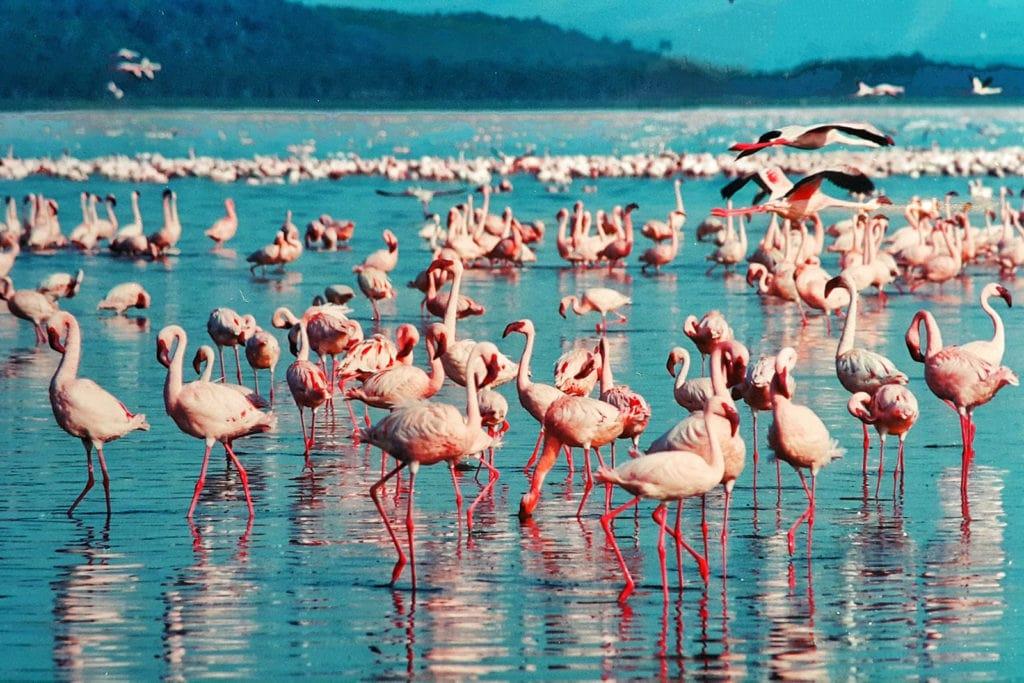 Rosa Flamingo Lake Nakuru Kenia Afrika