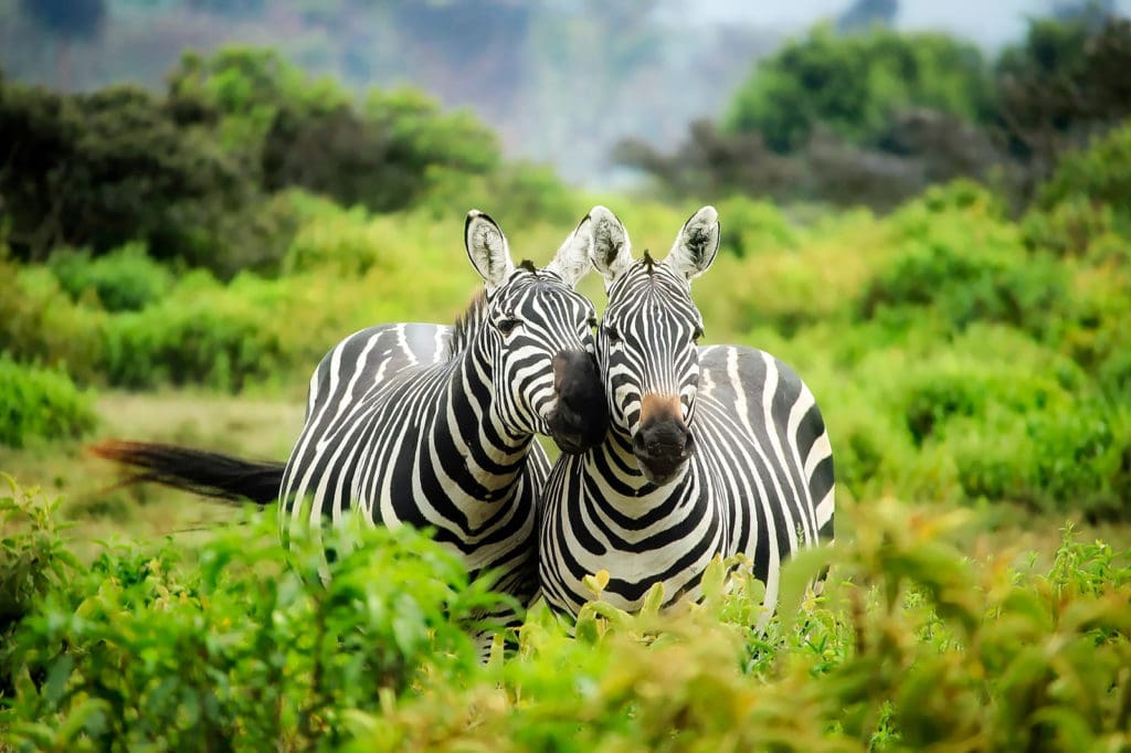 Safari Zebras Kenia Ostafrika