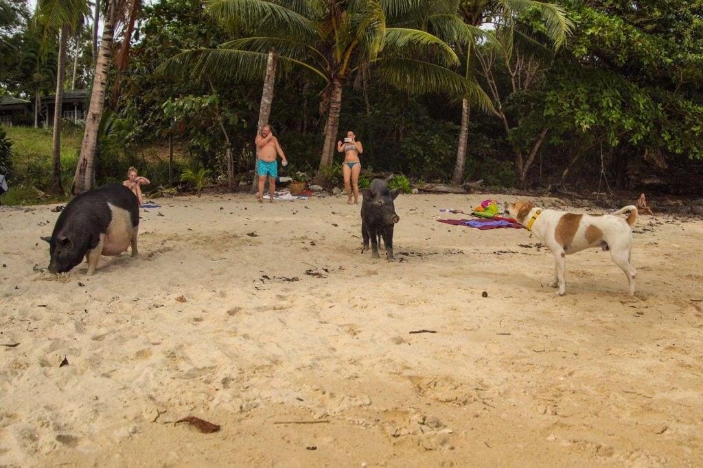 Schweine Strand Rawai Phuket 1