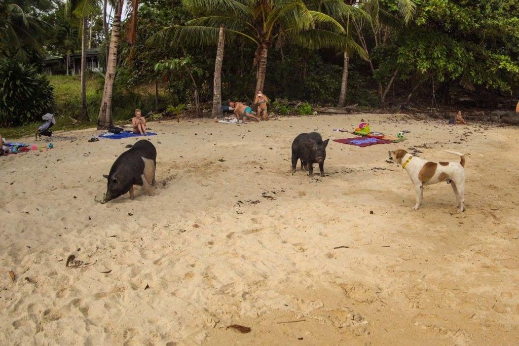 Schweine Strand Rawai Phuket 2