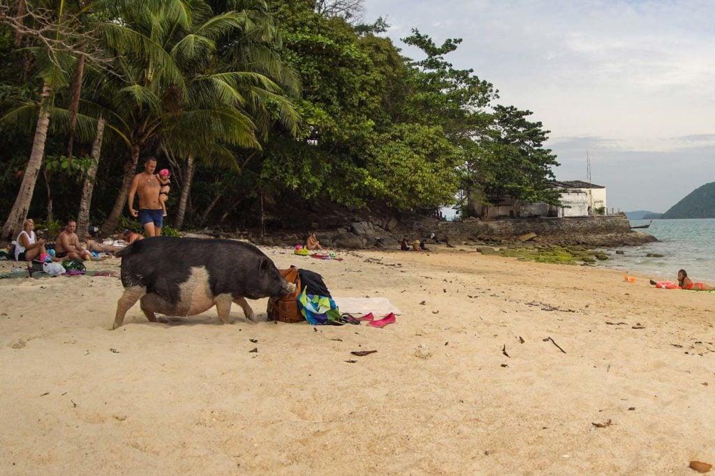 Schweine Strand Rawai Phuket 3