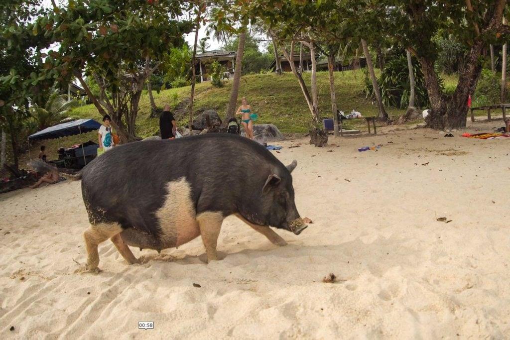 Schweine Strand Rawai Phuket 4