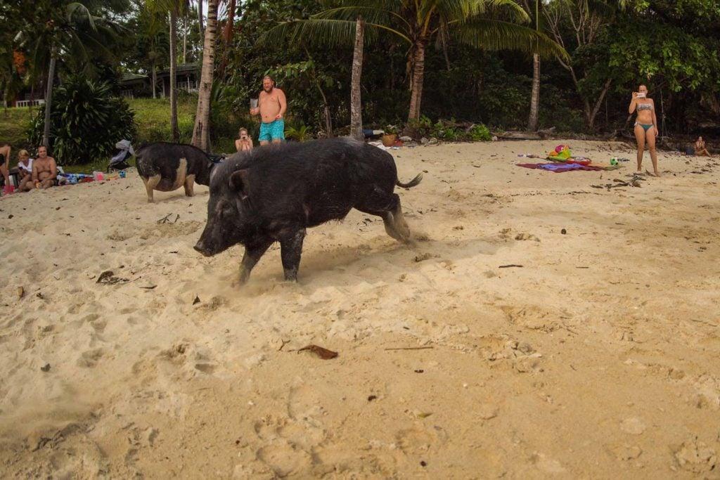 Schweine Strand Rawai Phuket 5